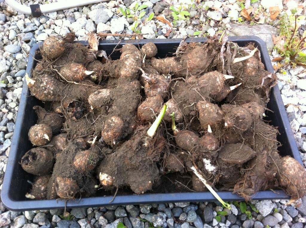 未収穫の里芋を種芋にする(5月上旬)