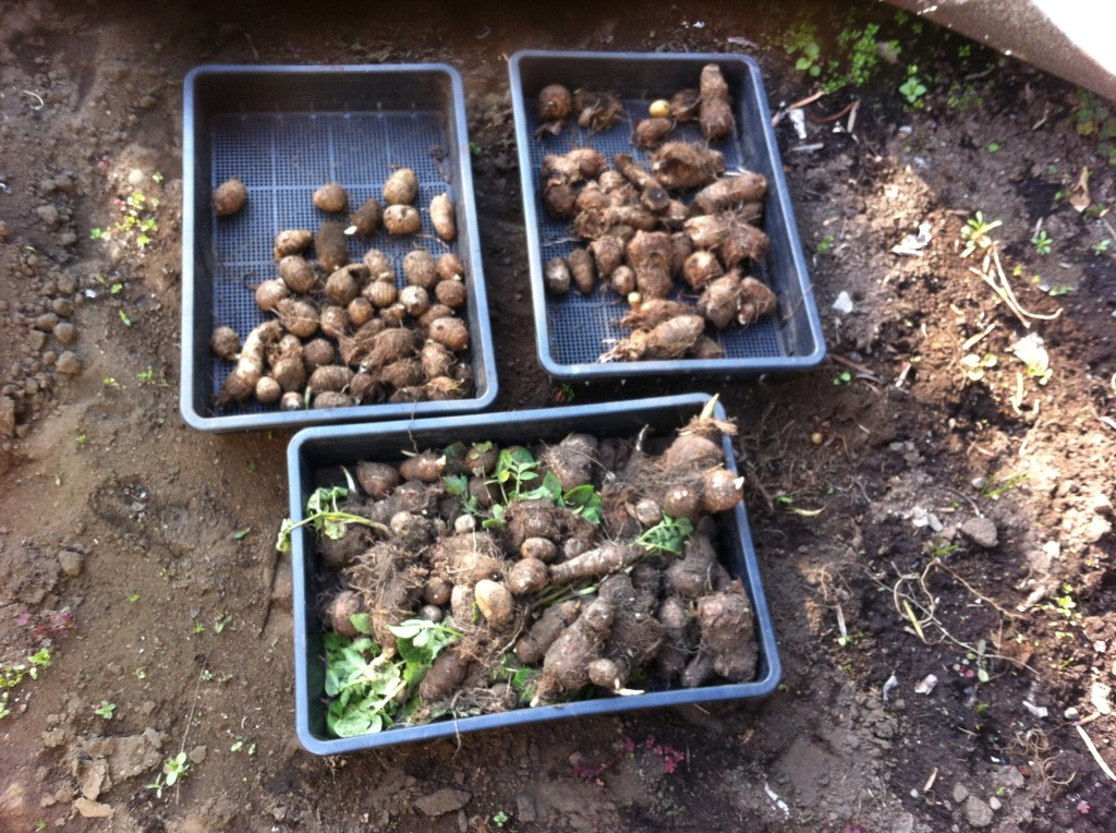里芋の種芋の選別(5月上旬)