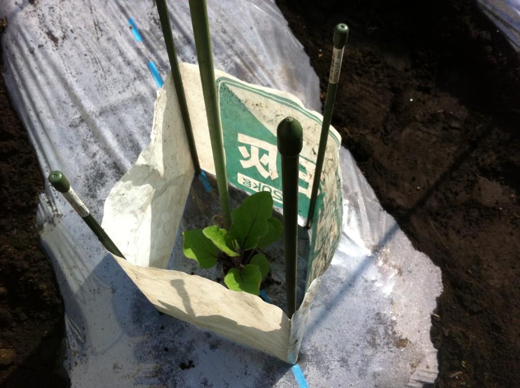 なすの苗を囲う肥料袋