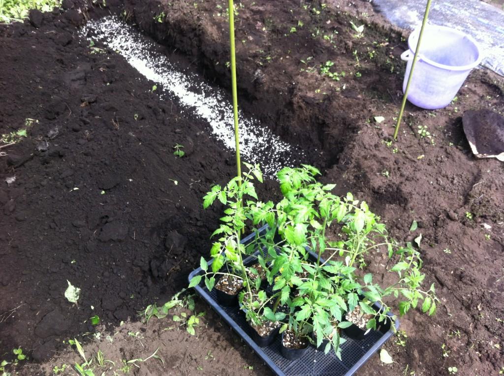 トマトの苗の植え付け(5月下旬)