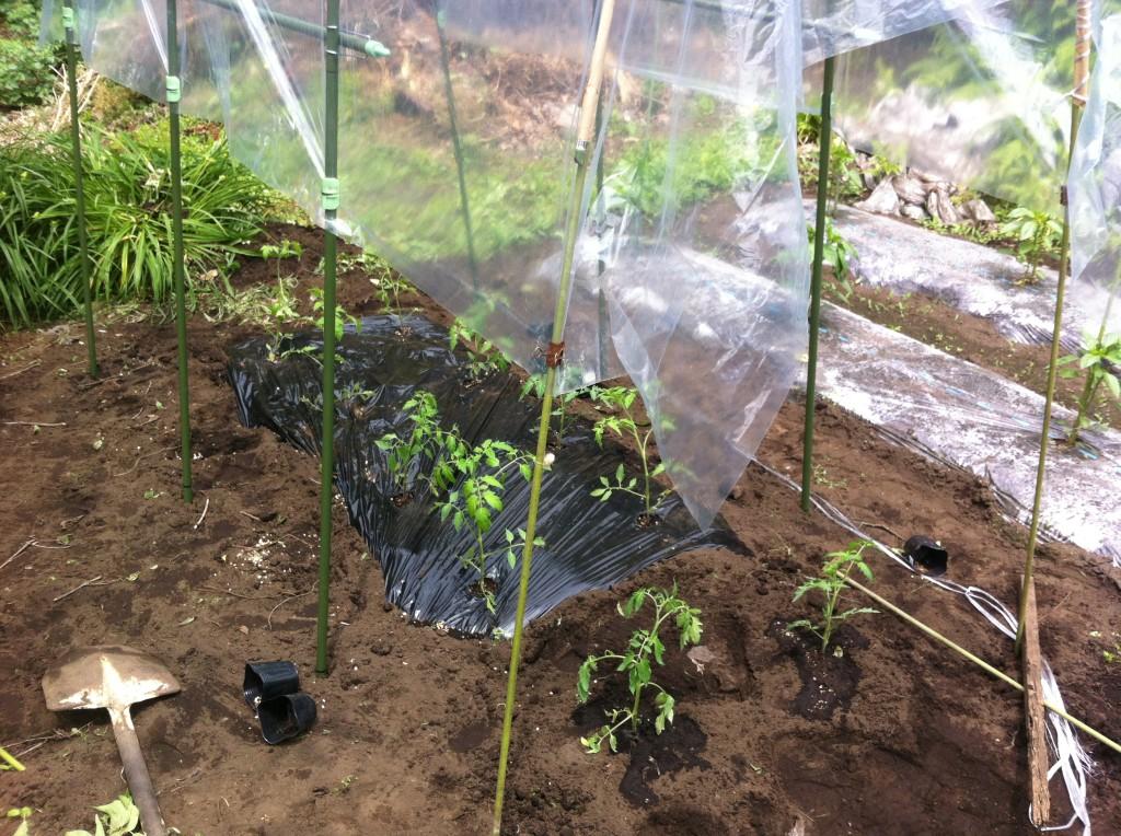トマトの雨よけを増設