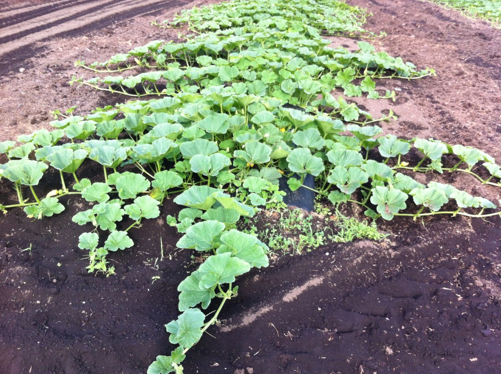 農家のかぼちゃ畑