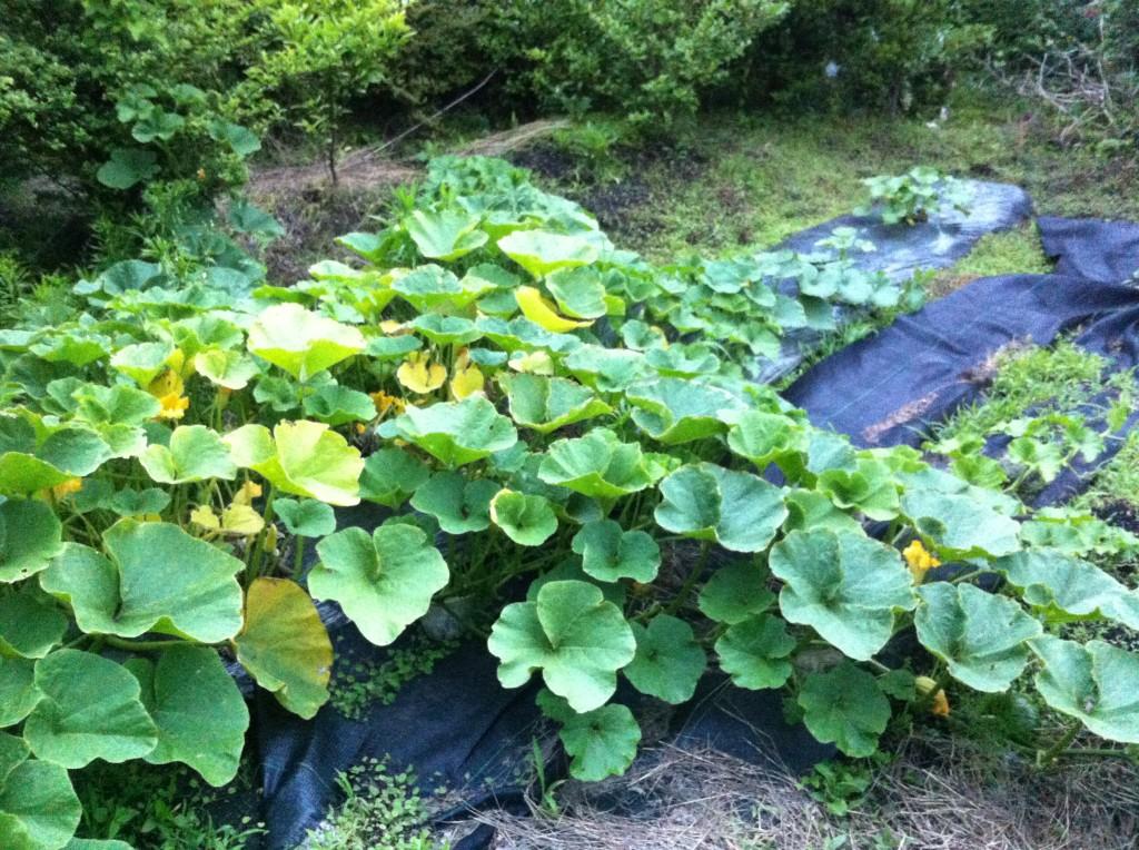 かぼちゃの蔓が畑を占領①(6月中旬)