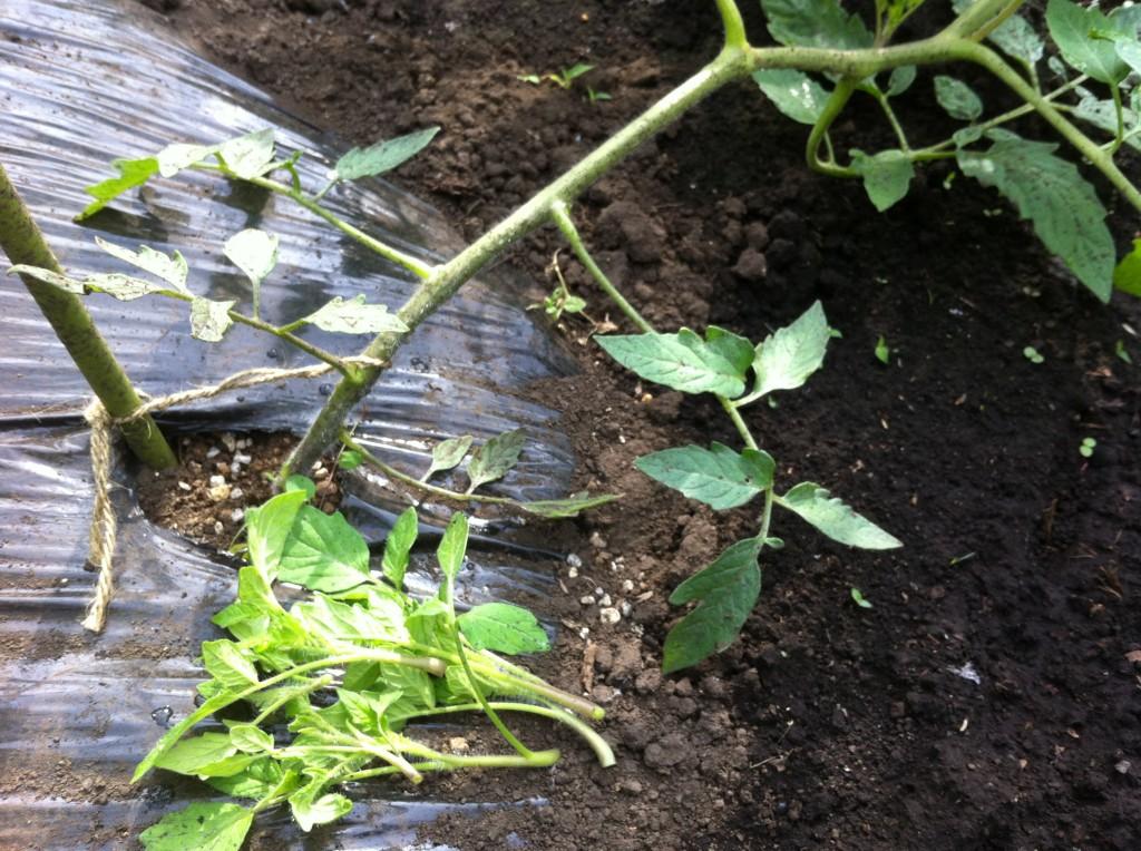 トマトの脇芽取り(6月上旬)