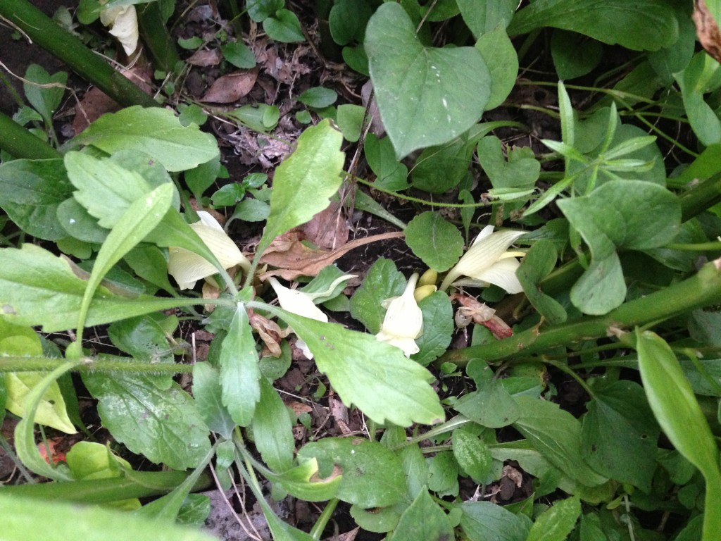 地上部分に出たみょうがの花芽(7月下旬)