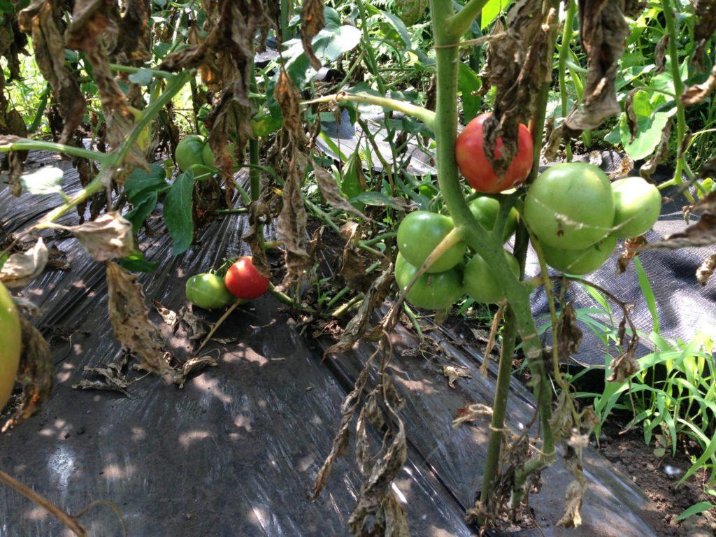 トマトの生育状況①(2013/7/19)