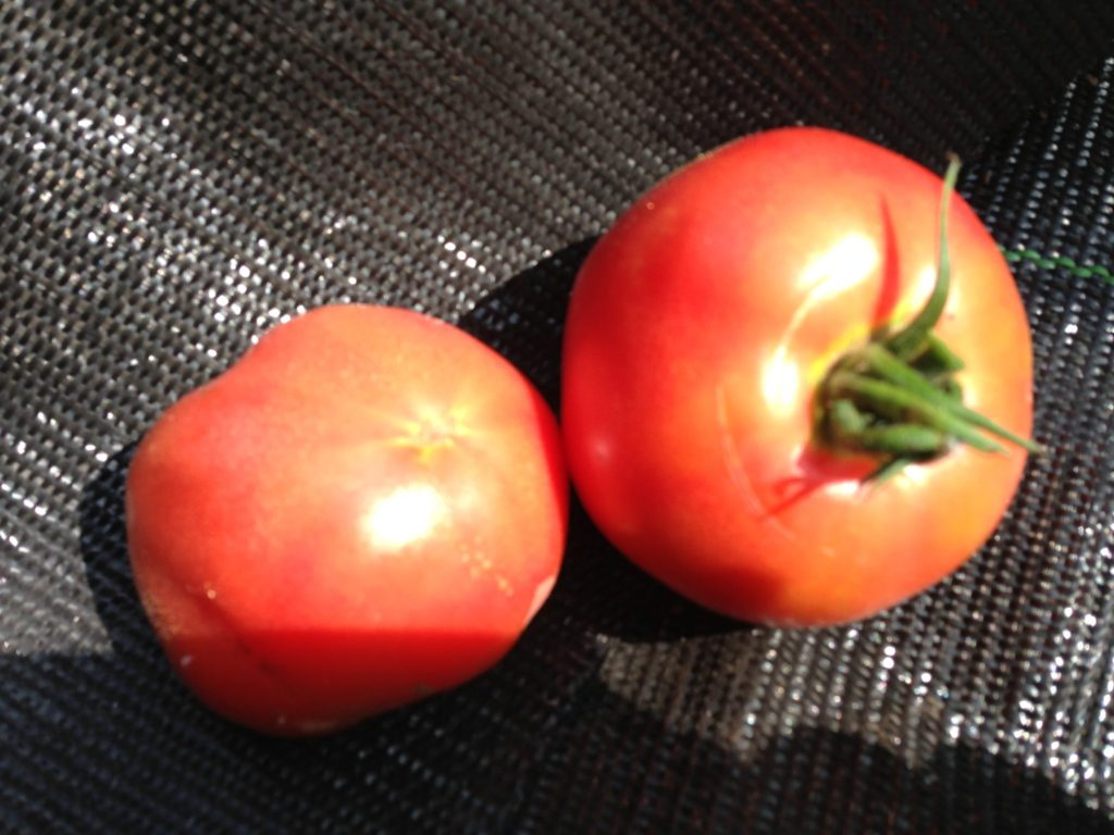 収穫したトマト(2013/7/19)