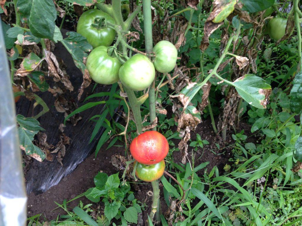 トマトの生育状況②(7月下旬)