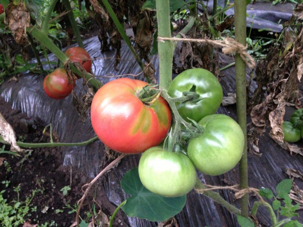 収穫前のトマト(2013/7/21)