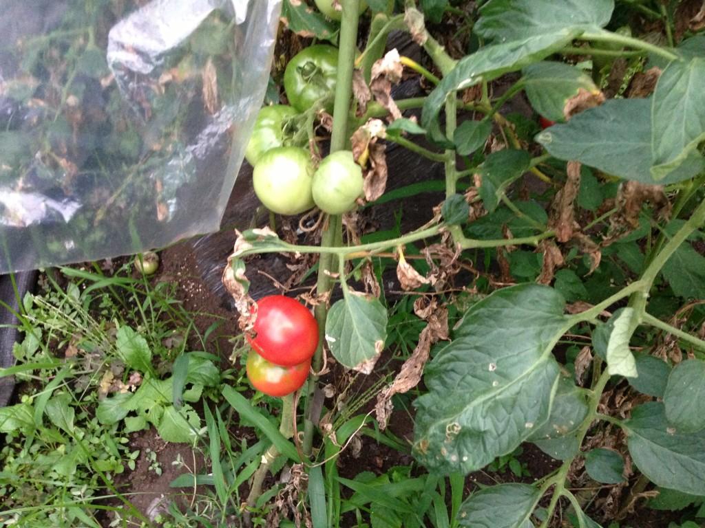 トマトの栽培コスト
