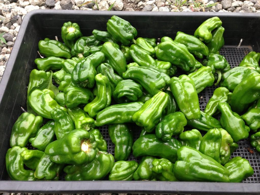 ピーマンの大量収穫(7月下旬)
