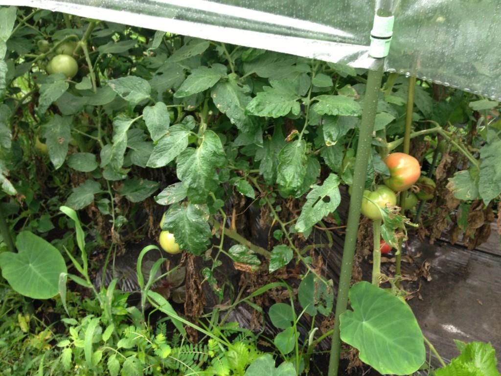 トマトの生育状況②(8月下旬)