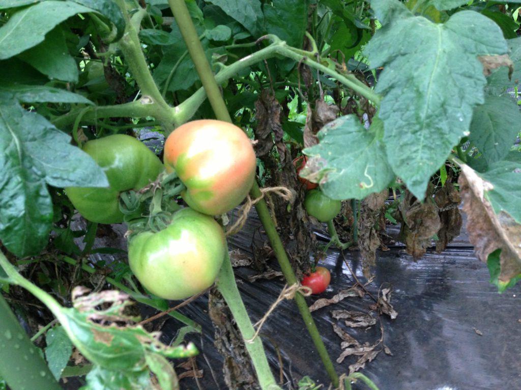 トマトの生育状況①(2013/7/30)