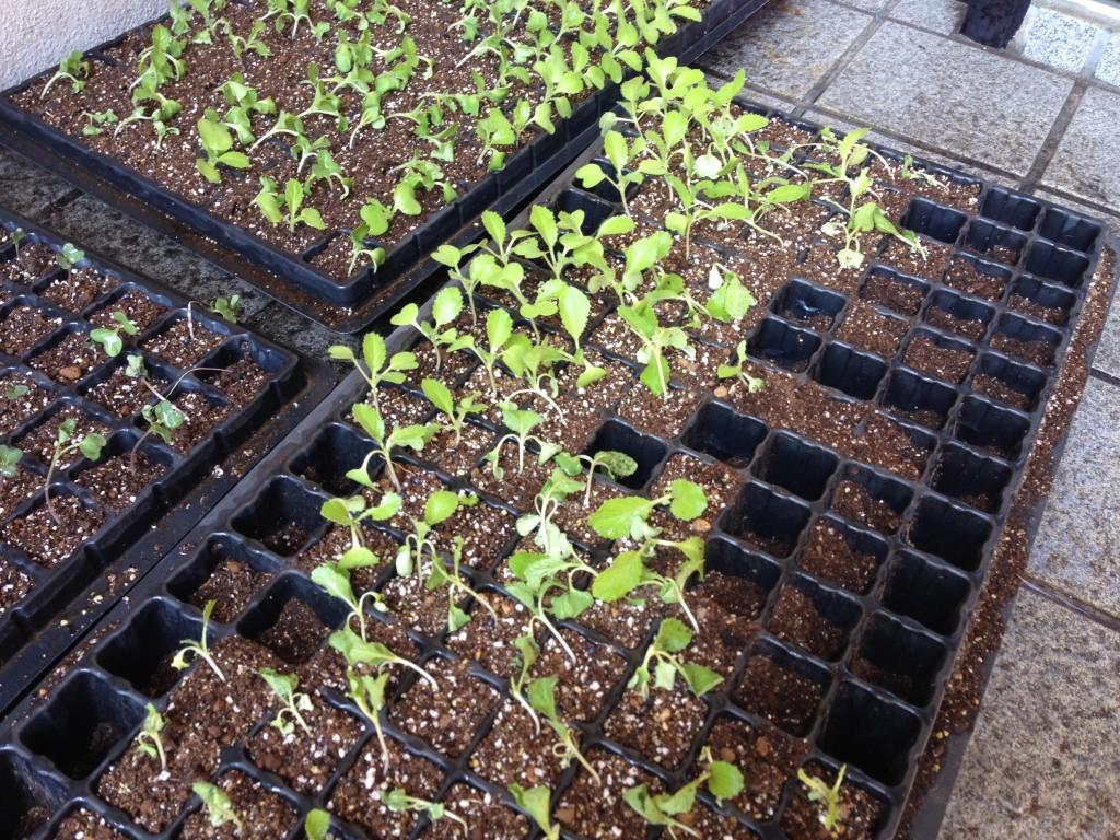 セルトレイで育てた白菜の苗①(9月中旬)