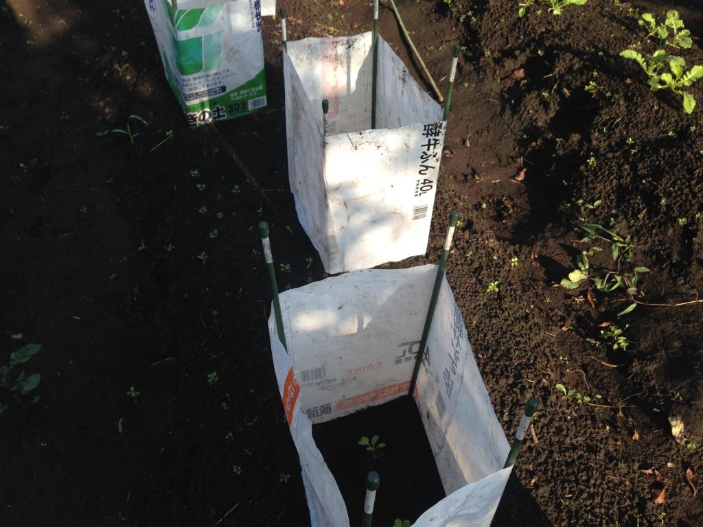 白菜の苗を肥料袋で囲む②(9月中旬)