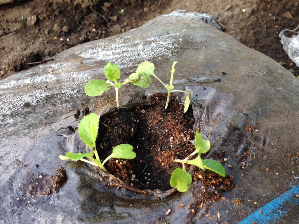 虫に食われた白菜の苗①(9月中旬)