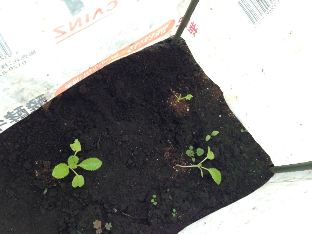 虫に食われた白菜の苗②(9月中旬)