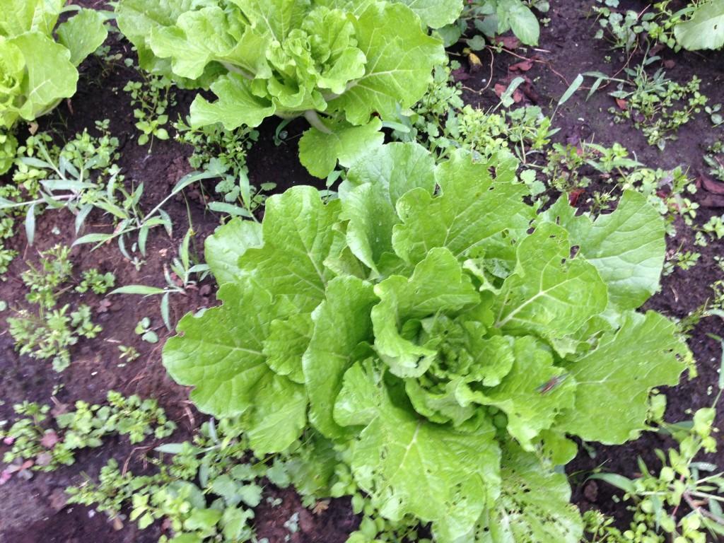 直播きの白菜の生育状況(10月上旬)
