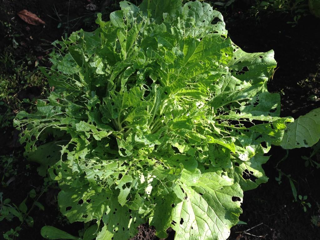 虫食い被害の白菜①(10月下旬)