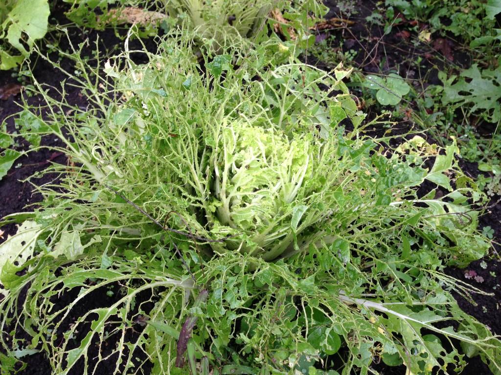 虫の被害で食べれない白菜(11月9日)