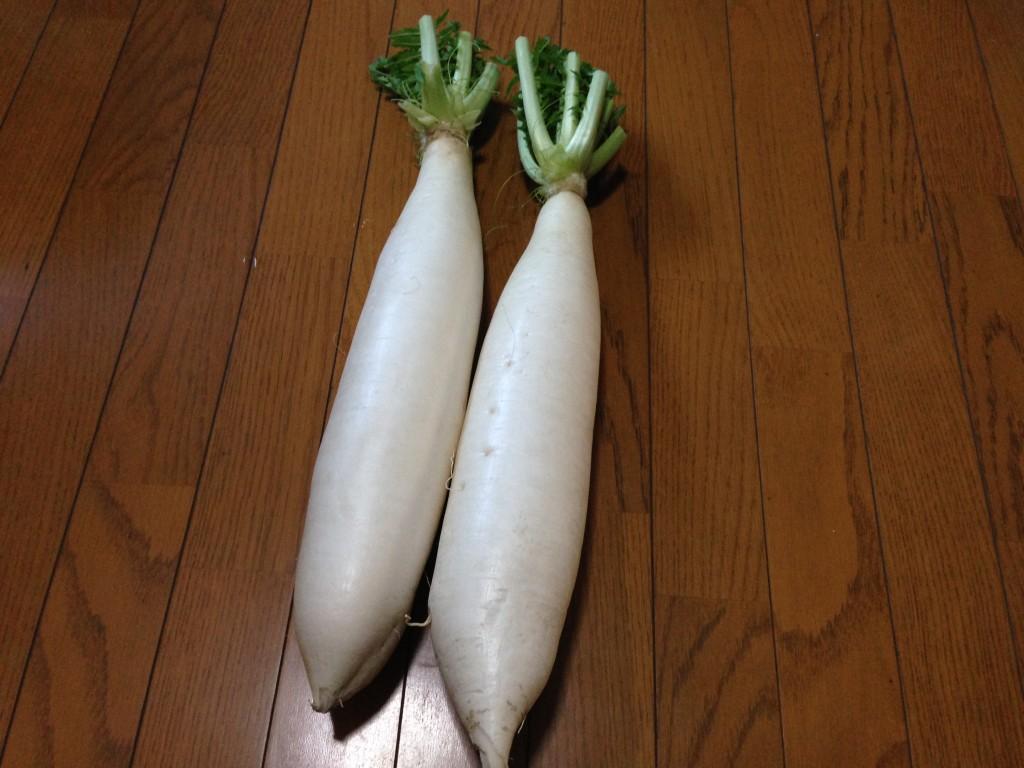 収穫した大蔵大根(11月23日)