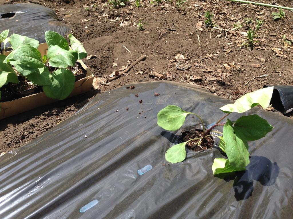 黒マルチを利用した「なす」栽培