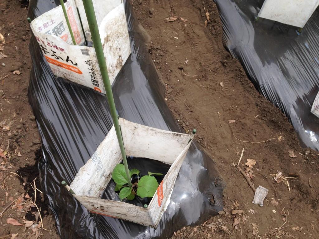 肥料袋で囲んで苗を保護①(5月上旬)