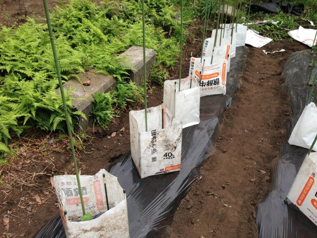 肥料袋で囲んで苗を保護②(5月上旬)