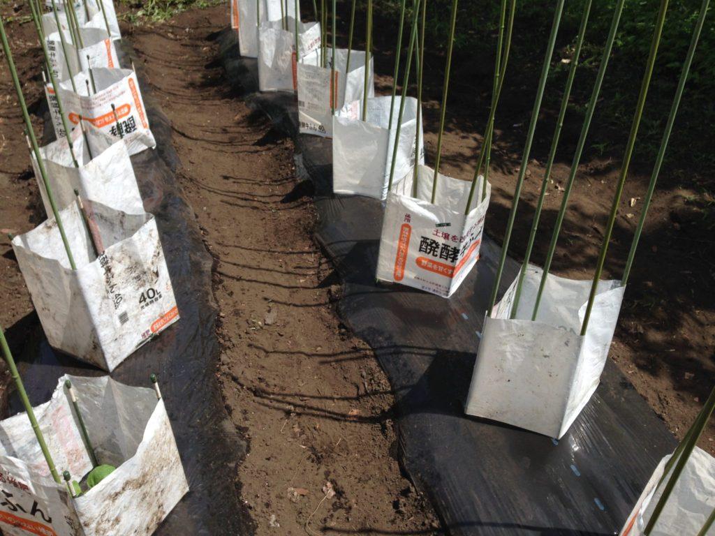 肥料袋で囲んで苗を保護③(5月上旬)