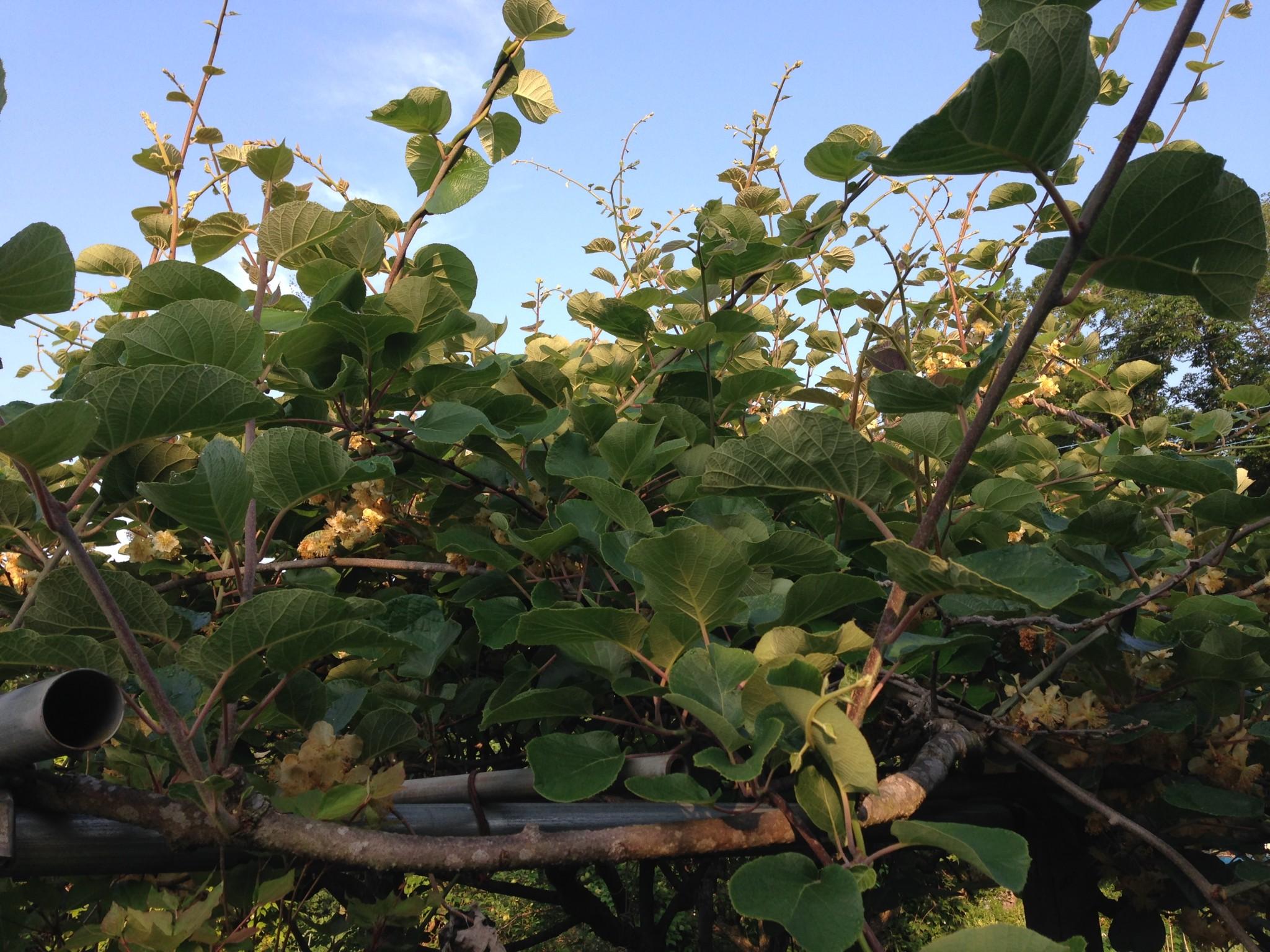 キウィフルーツの木(5月下旬)