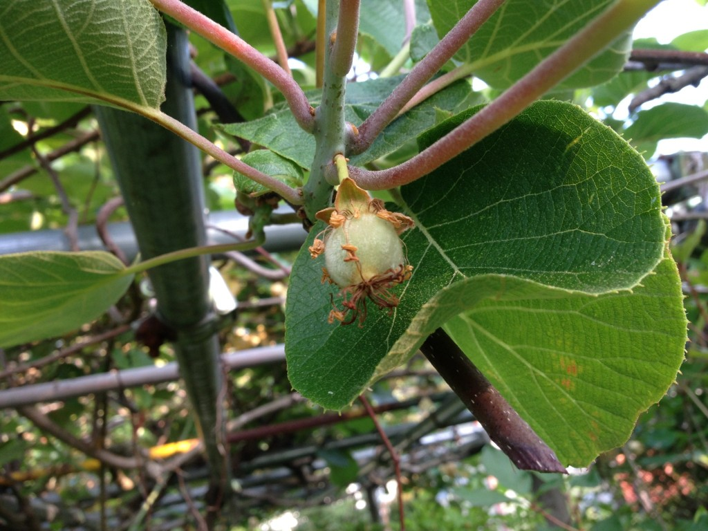 キウィフルーツの雌花①(5月下旬)