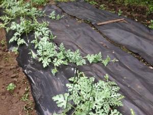 すいか栽培と防草シート(5月29日)