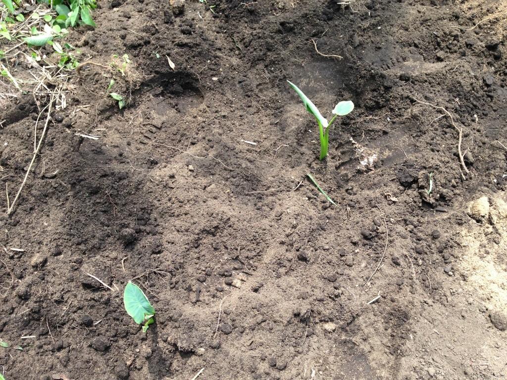 里芋の種芋の植え付け②(5月31日)