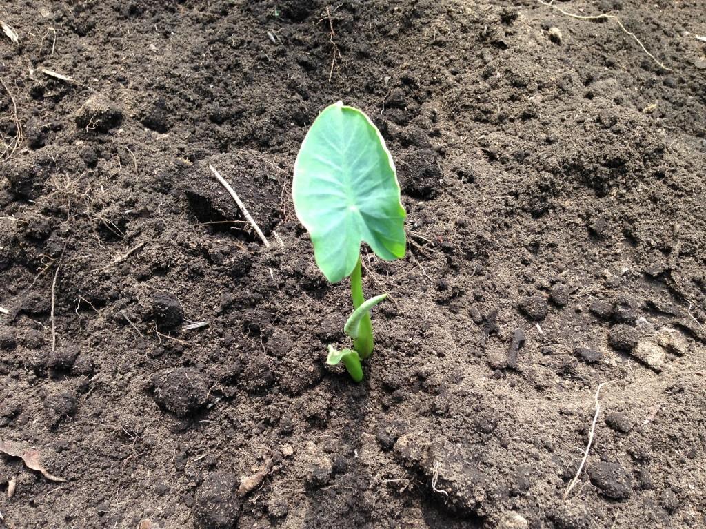 里芋の種芋の植え付け①(5月31日)