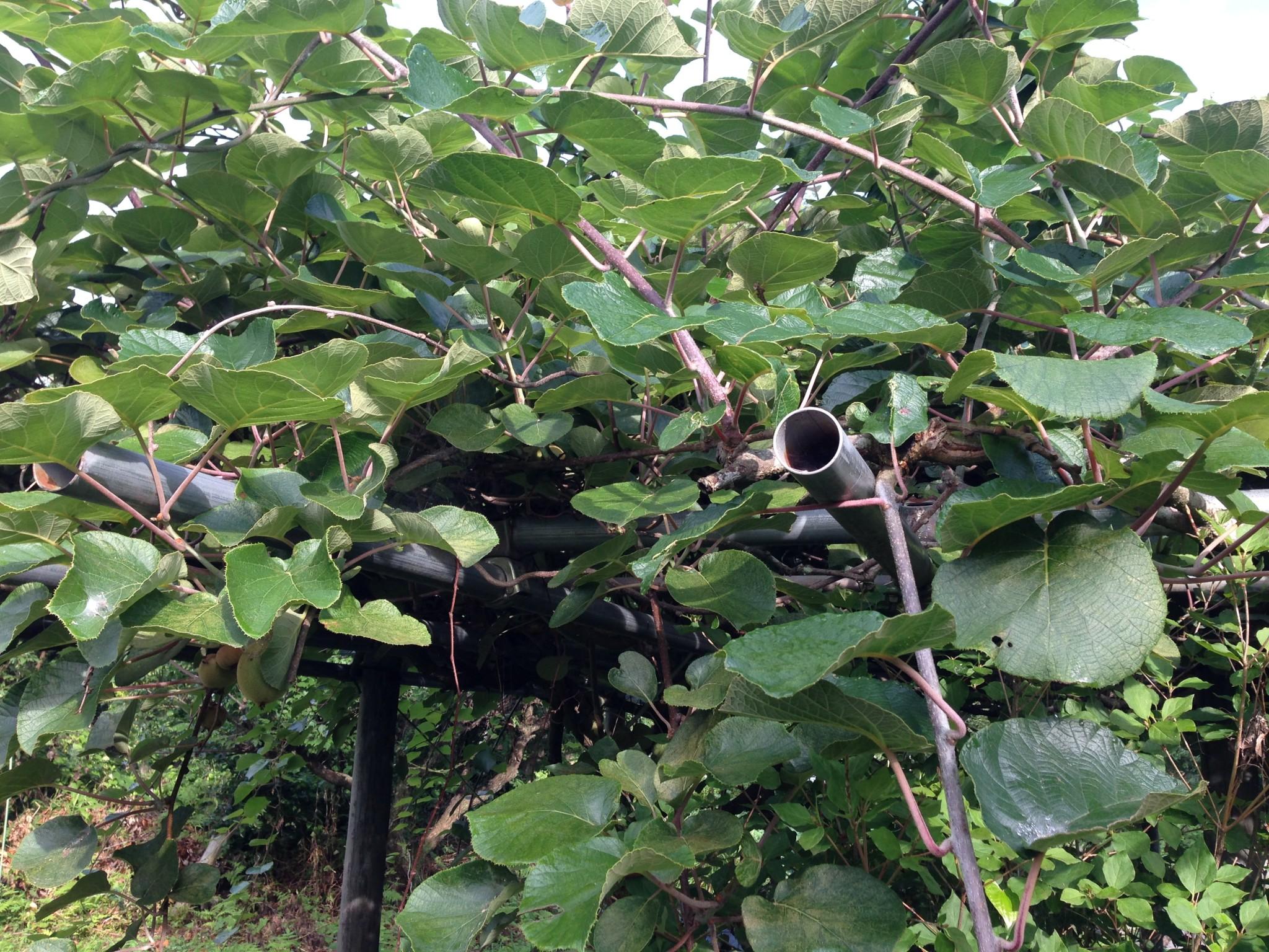 伸び過ぎたキウィフルーツの棚①