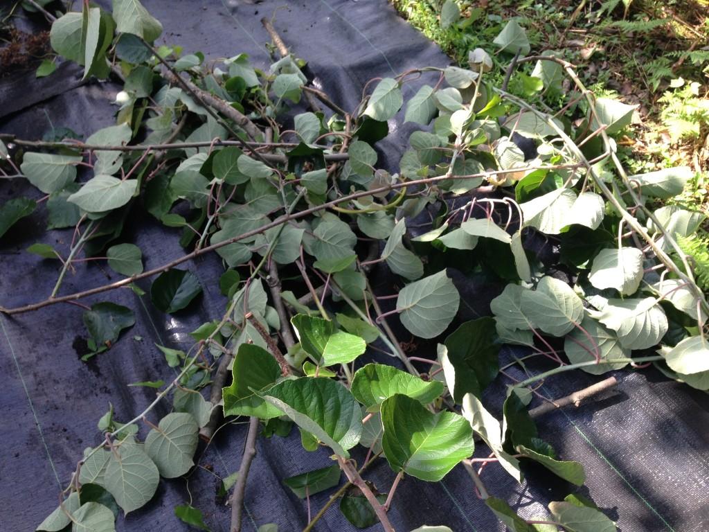 キウイフルーツの伸び過ぎた枝を剪定②(6月27日)