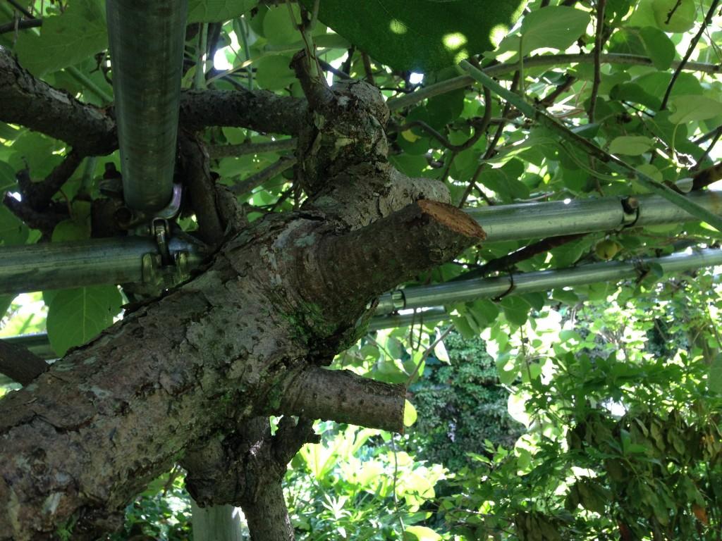 キウイフルーツの伸び過ぎた枝を剪定①(6月27日)