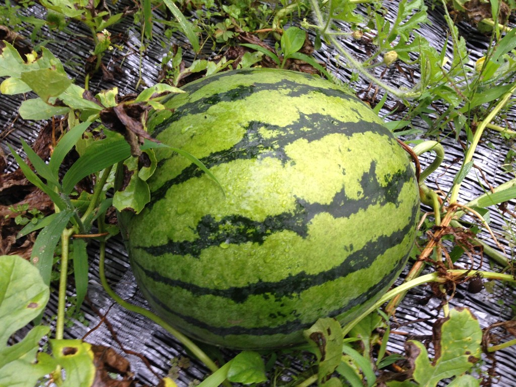 菜園にて収穫前の「すいか」(7月27日)