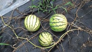 収穫前の「すいか」(8月12日)