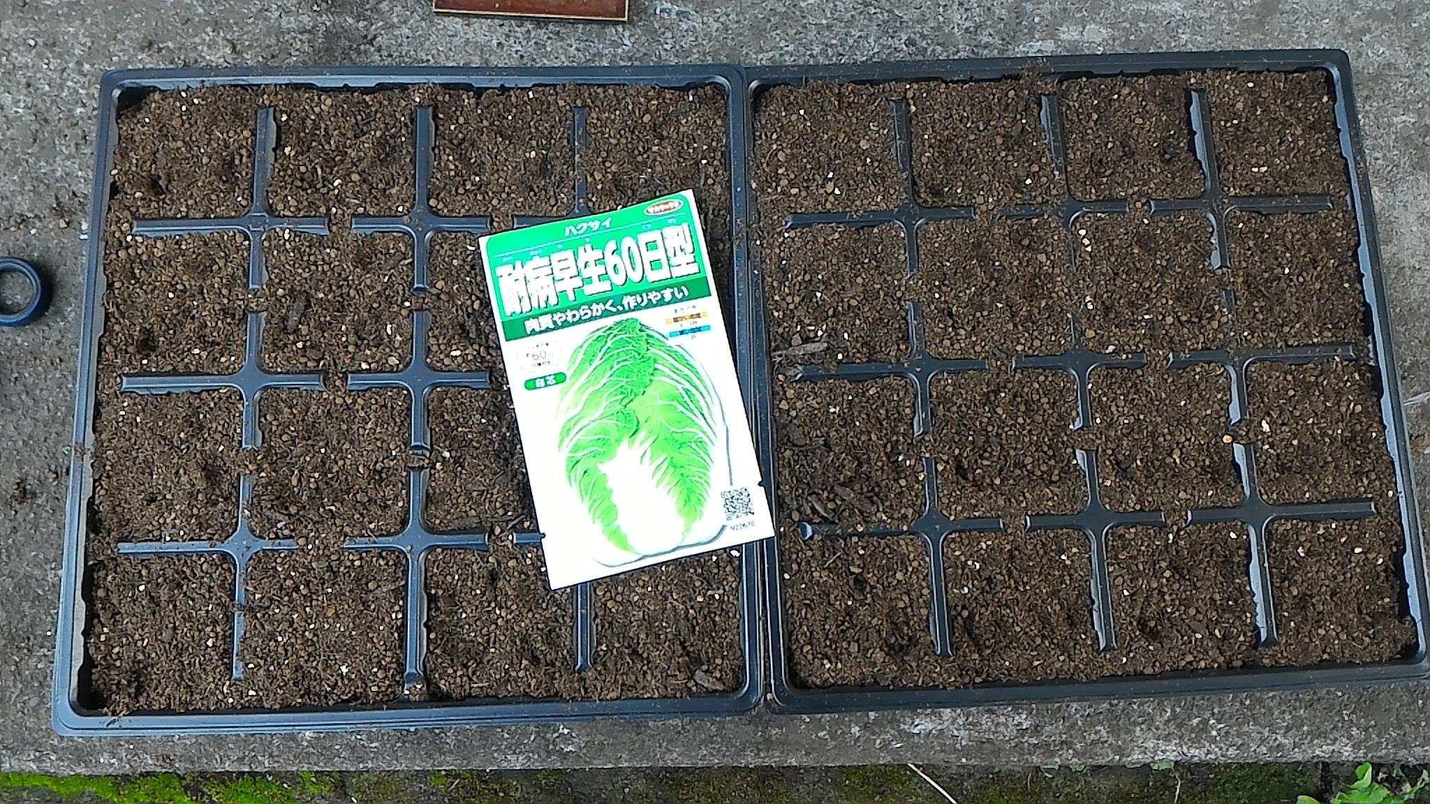 プラグトレイで白菜の苗作り①(8月14日)