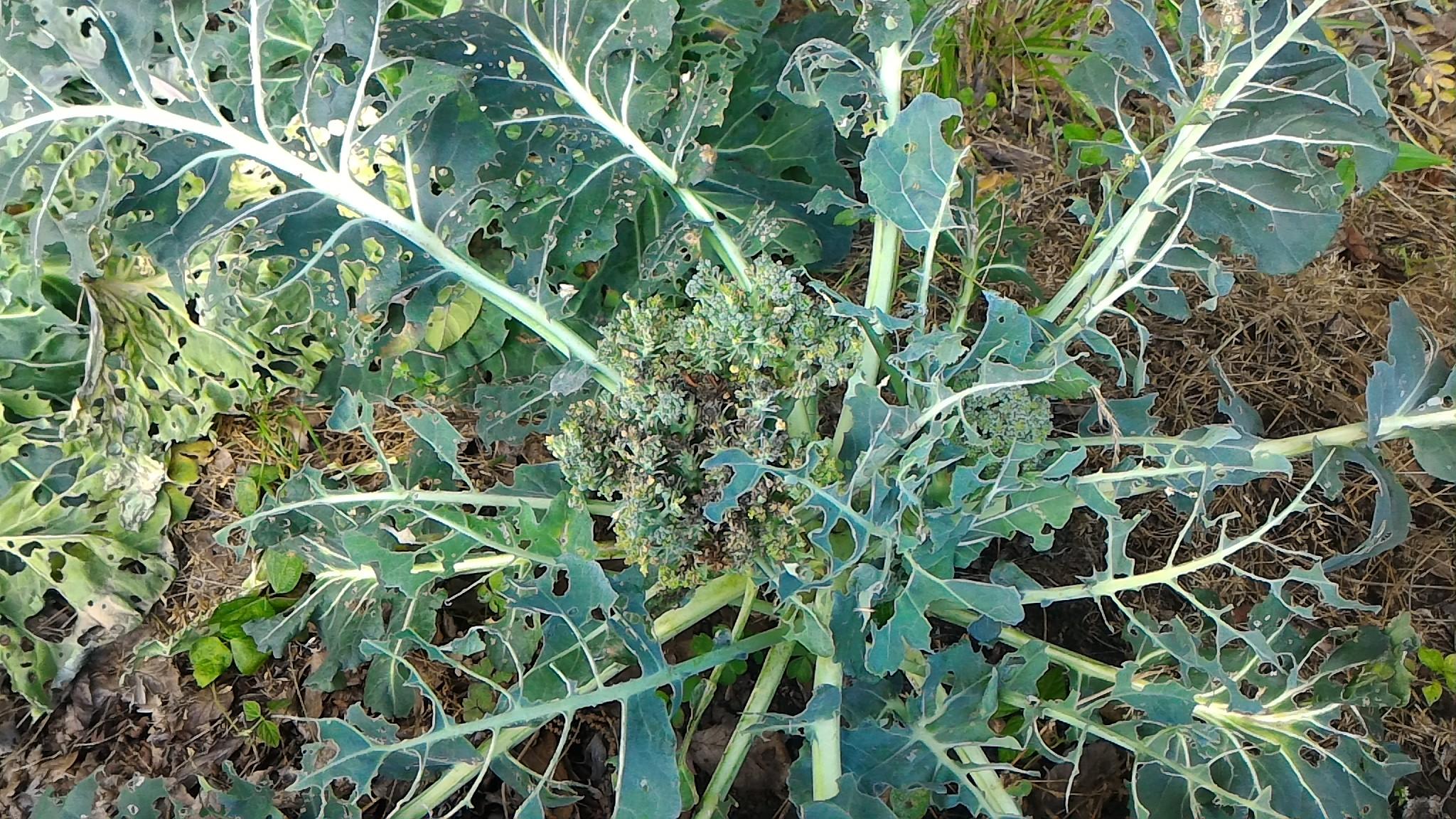 収穫期を過ぎた「ブロッコリー」(6月3日)