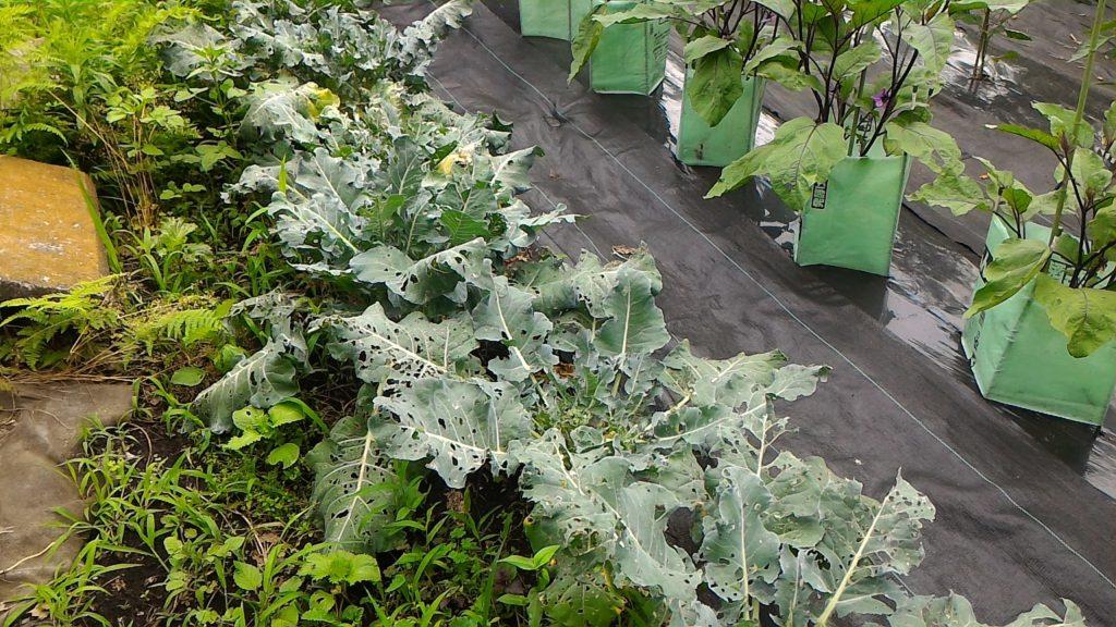 頂花蕾収穫後のブロッコリーの株①